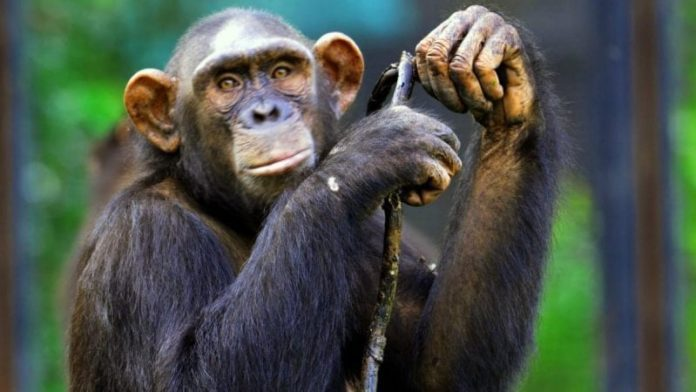 India: Enforcement Directorate attaches chimpanzees and marmosets in money-laundering investigation 2